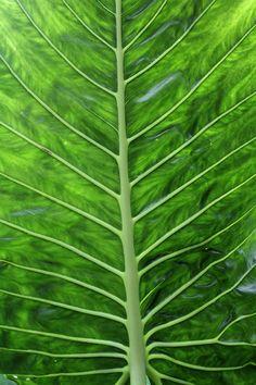 Veins in a Leaf