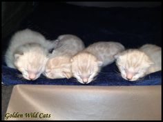 Chatons Bengal Snow Lynx Lynx, Ferret, Snow, Animals, Animales, Animaux, Ferrets, Animal Memes, Eurasian Lynx
