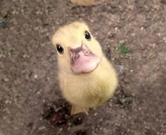 duckling wants attention