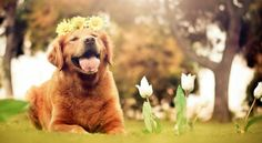 Golden Retriever - Animal Photography by Jessica Trinh Love My Dog, Sf Wallpaper, Animal Wallpaper, Happy Wallpaper, Computer Wallpaper, Animals Beautiful, Cute Animals, You're Beautiful, Dog Background
