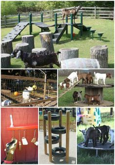 Making toys for goats to keep them busy is a great way to be entertained. You will be surprised at all the things your goats will do when they are active.
