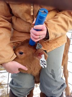 Want to know why and how we dehorn calves?