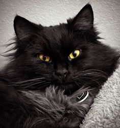 Secrets to taking pictures of black cats - top tips from a professional photographer How to photograph black cats - top tips from a professional photographer Photo courtesy of Kathryn Collinson