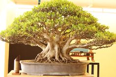 Affordable Wedding Planner, wedding packages, debut coordinator and cheap debut packages Bonsai Art, Bonsai Plants, Bonsai Garden, Potted Plants, Bonsai Pruning, Ficus Microcarpa, Bonsai Tree Types, Plantas Bonsai, Miniature Trees