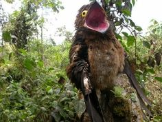 Potoos(familyNyctibiidae) are a group ofnear passerinebirdsrelated to thenightjarsandfrogmouths. They are sometimes calledpoor-me-ones, after their hauntingcalls. There are seven species in onegenus,Nyctibius, in tropicalCentralandSouth America.