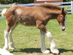 Baby Clydesdale Horse. Saw these at Seaworld a few years ago- absolutely adorable!!