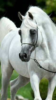 Stallion arabian champion horse