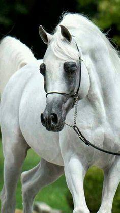 Stallion arabian champion horse