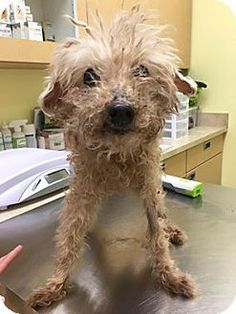 New York, NY - Poodle (Miniature). Meet Shantaread, a dog for adoption. http://www.adoptapet.com/pet/15008334-new-york-new-york-poodle-miniature