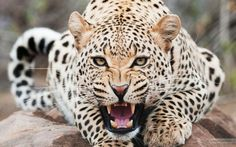 Leopardo.  # Felinos