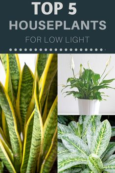 Plants can really jazz up dark corners in your home, but figuring out exactly what indoor plants are suitable for low light conditions can be a real challenge. Check out our top 5 picks for houseplants for low light! Growing Succulents, Planting Succulents, Planting Flowers, Inside Garden, Inside Plants, Amazing Gardens, Beautiful Gardens, Household Plants, Household Tips