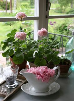 Geraniums- indoor pots