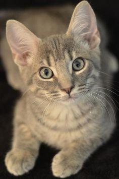 Gandalf  - @FurKids - #kitten