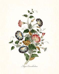 Major Convolvulous Botanical Art Print No. 14
