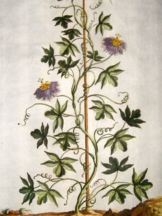 Munting 1696 H Col Botanical Clematis Passiflora Pentaphylea Passion Flower