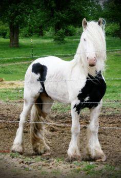 Frisian horse images | Friesian
