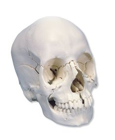 Scientific Plastic 22 Part Beauchene Adult Human Skull Model, Bone Colored Version, x x Human Anatomy Model, Anatomy Models, Human Skeleton, Human Skull, Kids Store, Toy Store, Large Oval Mirror, Skull Model, Swarovski Crystal Figurines