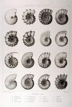 LUELLA LUELLA LOVES ammonites (fossils) – loved collecting fossils like these as a child with my dad on family holidays by the sea - Ernst Haeckel, Tentacle, Rocks And Minerals, Sea Creatures, Prehistoric, Natural History, Geology, Illustrations, Animal Illustrations