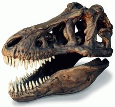 Take a look at this awesome skull available for sale right here at Dinosaurfossil4u for $273.63  http://www.dinosaurfossils4u.com/t-rex-skull/  #Skull #Dinosaur #Fossil #Trex