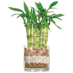 6-In Lucky Bamboo In Pot (Dt77l7b)