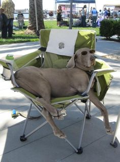 This is a typical Weimaraner. They really do think they are human. You have to love them.                                                                                                                                                      More