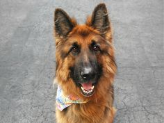 HANS3_A1071314...NEUTERED MALE, BROWN / BLACK, GERM SHEPHERD MIX, 4 yrs STRAY – ONHOLDHERE, HOLD FOR DOH-B Reason STRAY Intake condition UNSPECIFIE Intake Date 04/24/2016, From NY 10467, DueOut Date04/27/2016