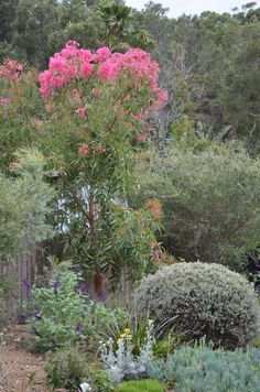 Pink flowering putting on a good show in late January