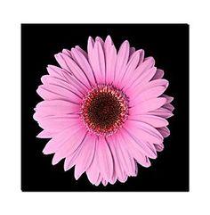 """""""Pink Gerber Daisy"""" Canvas Art"""