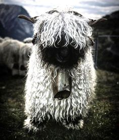 Who Knew That Sheep Could Look So  Frightening? | So Bad So Good