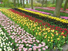 Colorful Keukenhof Gardens in Netherlands