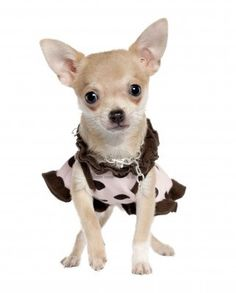 chihuahua puppy (5 months old)