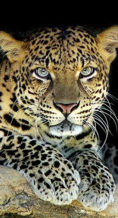 Beautiful Leopard | by Jessy Eykendorp
