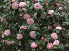 Camellia japonica 'Pink Perfection' Great as shade plant for side of house. Gets 8 -10ft tall