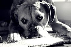 New | A community of Boxer lovers!