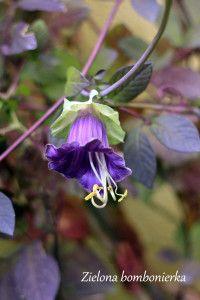 Czepialska kobea, czyli duża masa zieleni w szybkim czasie. - Zielona bombonierka Gardening, Plants, Lawn And Garden, Plant, Planets, Horticulture