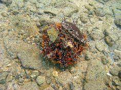 Starfish / Urchin : Orange Collector Urchin