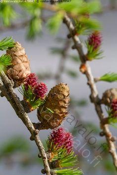 Lehtikuusen oksia - käpy kävyt lehtikuusi puu kuusi mäntykasvi Pinaceae Larix oksa neulaset neulanen