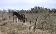 CABALLO en el campo , Argentina