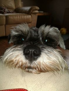 Mini Schnauzer- looks just like my Schnauzer, Bandit.  Love their faces.