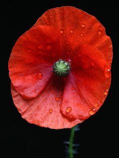Poppy by Achim
