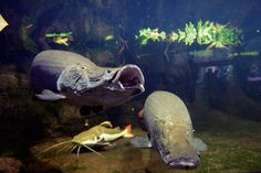 """Arapaima gigas the worlds largest freshwater fish growing to around 16 feet in the wild and upto 5 feet in captivity. The Red Tail catfish """"Phractocephalus hemioliopterus"""" too large for most hobbyist as it can reach over 100cm upto 4 foot. But still for sale in some aquarium stores."""