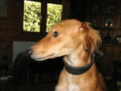 Seb, an Orange Saluki Stolen from Owner's Garden we Recovered her from a site 200 miles away