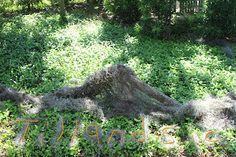 Tillandsia usneoides - New Orleans LA