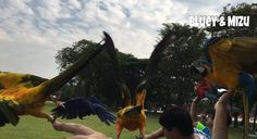 Affinity Flight: Our friendly flock taking off for some exercise! #flyingparrots #hyacinthmacaw #parrots #macaws #loro #guacamaya #papagaio #papegøje #papegaai #papagei #pappagalli #papuga #Попугаи #papağan #鸚鵡  #affinityflight #parrot #macaw #guacamayo #arara #perroquet #papagaj #pappagallo #papegøye #Попугай #papegoja #ببغاء #オウム#앵무새 #طوطی