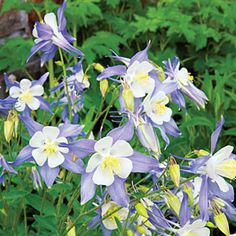"""Columbine are amazing herbaceous plants that re-seed themselves that lend a whimsical, natural elegance to a laid-back landscape. """"23 knock-out native plants 