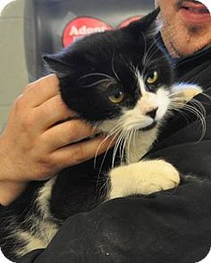 Westampton, NJ - Domestic Shorthair. Meet C-57582 Ninja a Cat for Adoption.
