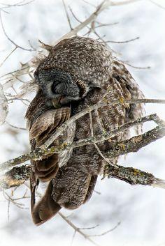 Lookin' purdy - Preening Great Grey Owl   Flickr - Photo Sharing!
