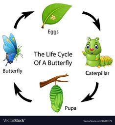 The life cycle of a butterfly. Illustration of The life cycle of a butterfly , Science Experiments For Preschoolers, Preschool Activities, Butterfly Cartoon Images, Teach English To Kids, Drawing Competition, Kindergarten, Butterfly Life Cycle, Butterfly Illustration, Life Cycles