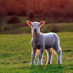 cordero (lamb)