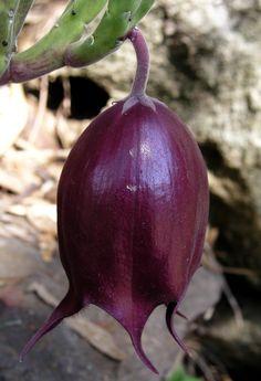 Stapelia leendertziae